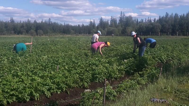 На картофельном поле